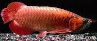 Arowana Fish Care Tips