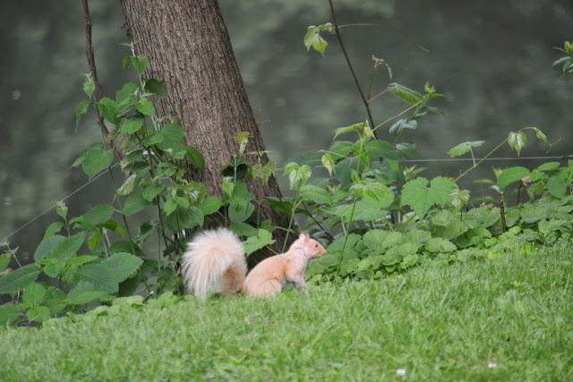 an all white squirrel  -- an albino squirrel