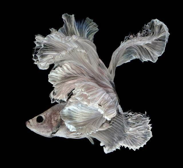 Graceful Portraits of Siamese Fighting Fish by Visarute Angkatavanich
