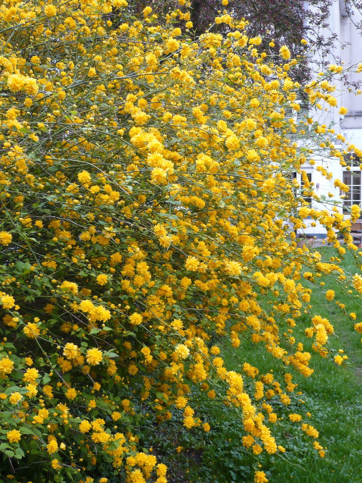 Stitches etc.: Pompom bush - kerria japonica