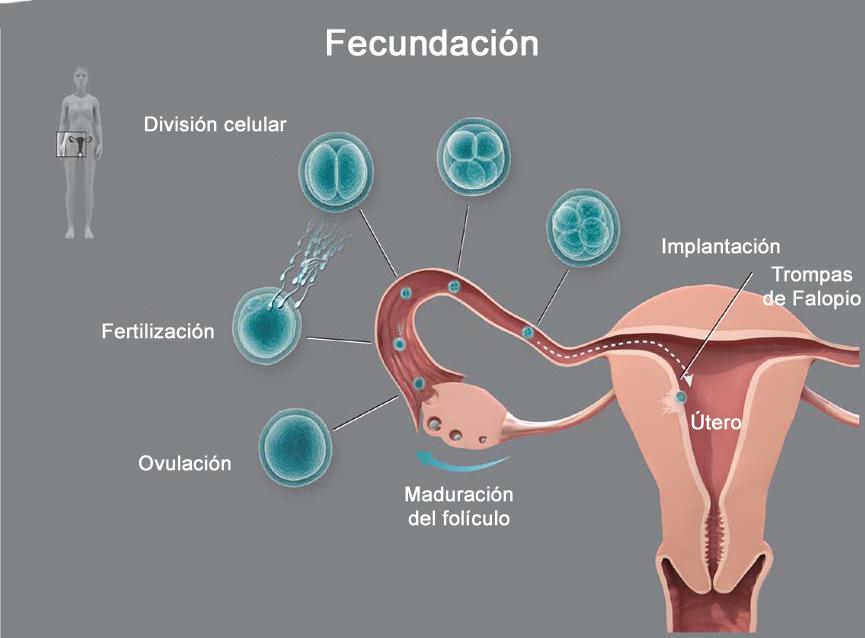 Evolución del óvulo en un ciclo normal desde la fecundación hasta la implantación en el útero