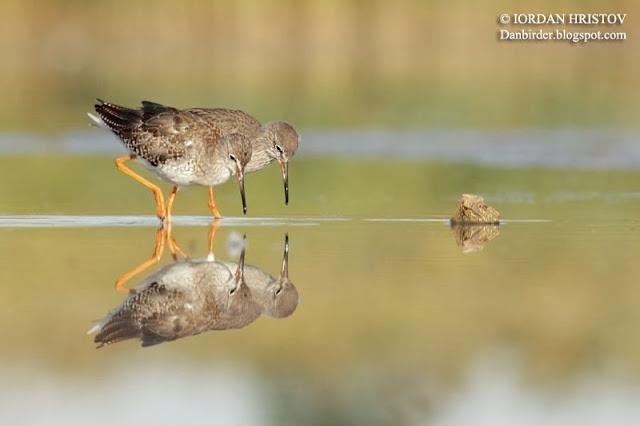 Redshank photography