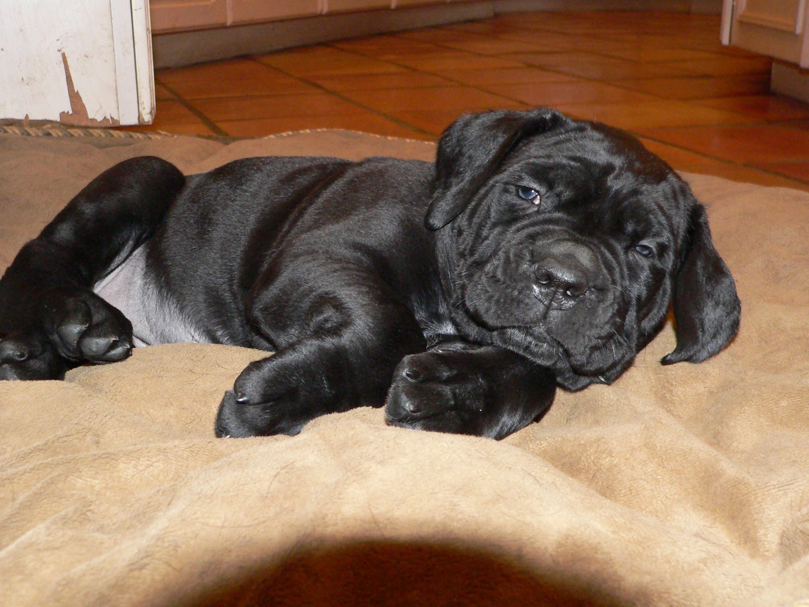 Black Pearl Cane Corso News: Zsrina X Saggio puppies are 5 ...