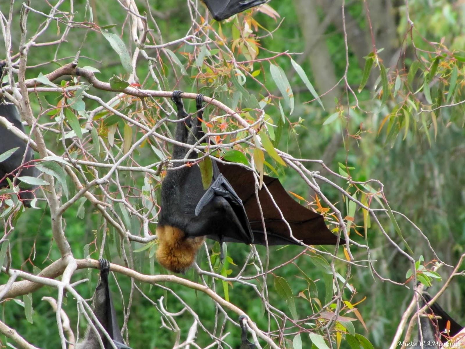 the difference between flying fox and bat mieke minkjan u0027s weblog