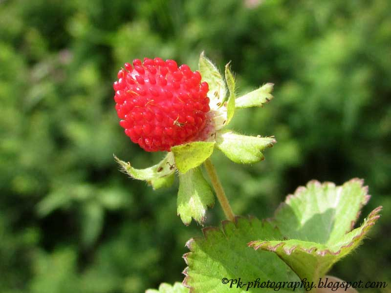 Wild Strawberry Vine Wild strawberry