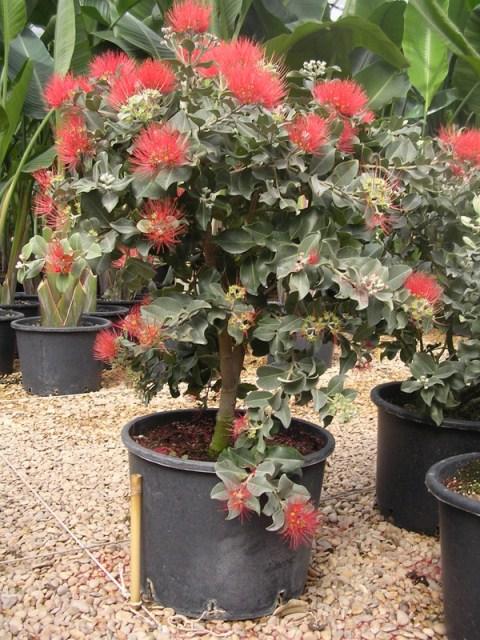 Pianta da vaso come ingresso esterno piante ornamentali for Piante da esterno in vaso