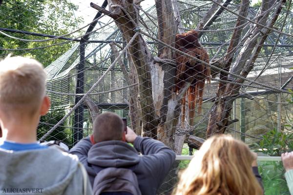 aliciasivert, alicia sivertsson, alicia sivert, berlin zoo, djurpark, djurhållning, instängda djur, djur i bur, cages, animal, animals, cage, orangutang