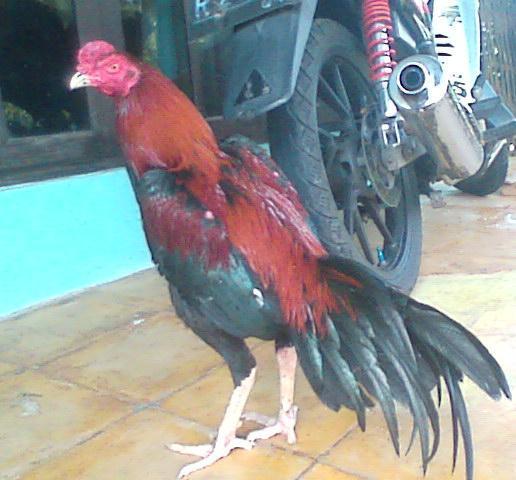 Ayam Bangkok F1