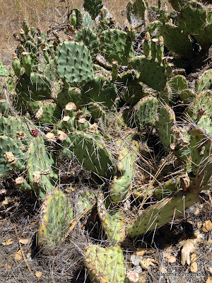 Opuntia phaeacantha  Engelm. Mojave Prickly Pear, brown spined prickly pear, tulip pricklypear