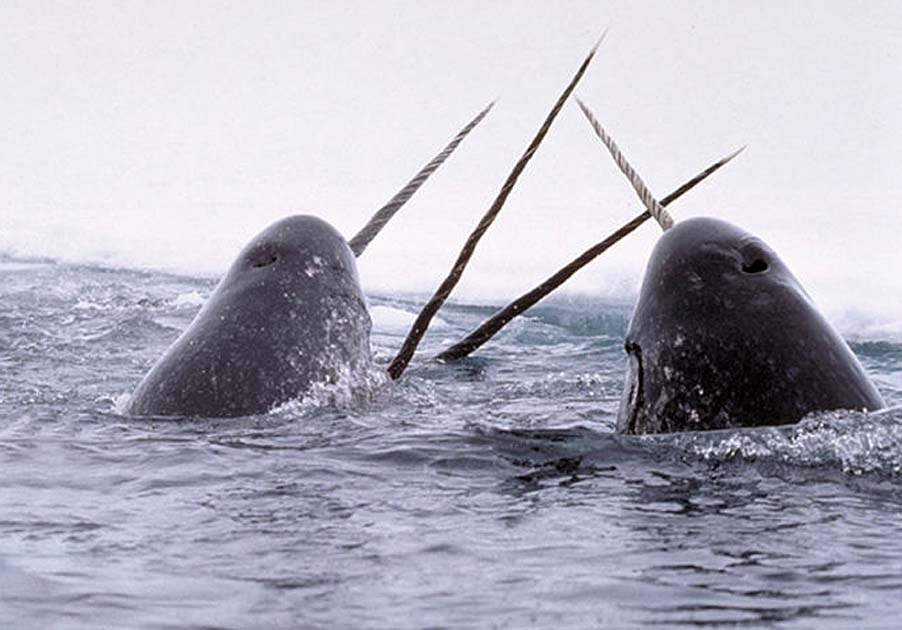Beautiful creatures water narwhals unicorns animals narwhals