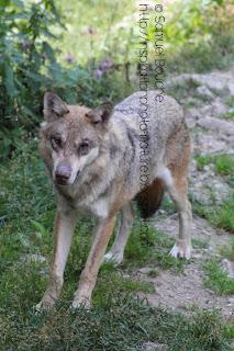 loup blessé et dominé oeil crevé omega