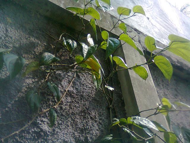 Tanaman Sirih di Pagar Rumah Secara Vegetatif dan Hidroponik