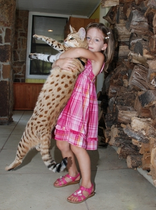 would a savannah cat get along with a corgi ign boards