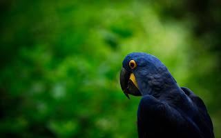 Parakeet Parrot Bird HD Wallpaper