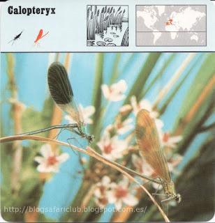 """Blog Safari Club, el Calopteryx, un elegante """"caballito del diablo"""""""