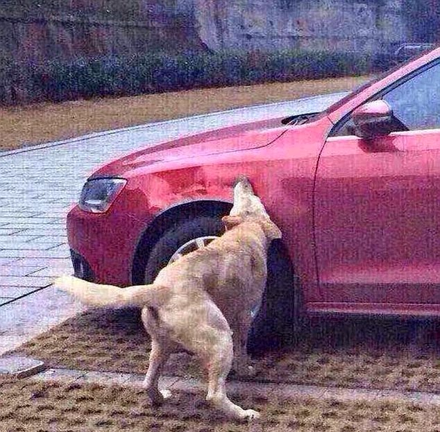 Cachorra agressiva