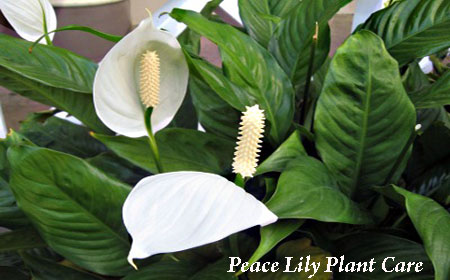peace lily care instructions