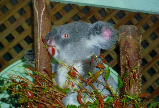 Koala Bear - Featherdale Wildlife Park