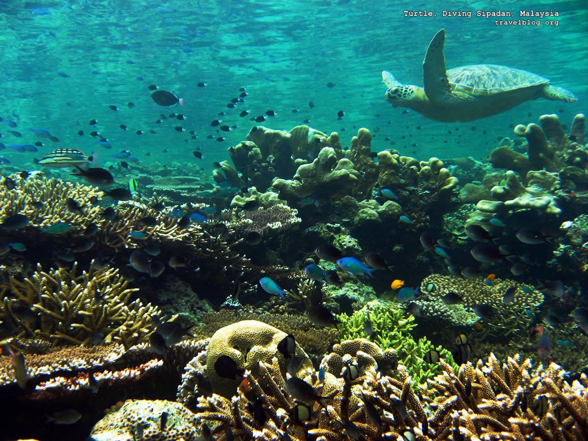 http://4.bp.blogspot.com/-zH09lrI5cxw/TfkQ6zcNhyI/AAAAAAAAE48/C5hLBwTjU7I/s1600/tb_turtle_diving_sipadan_malaysia.jpg
