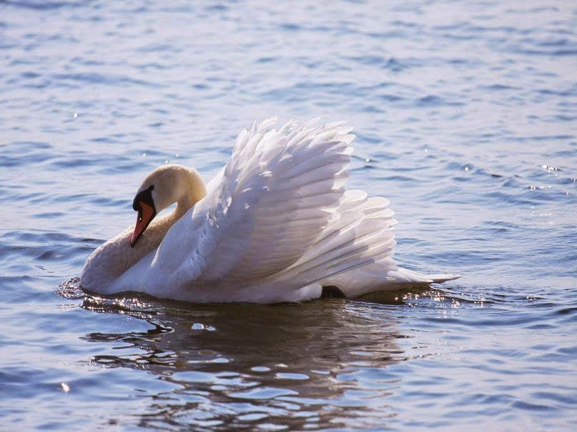 swan-rest-on-the-lake-image