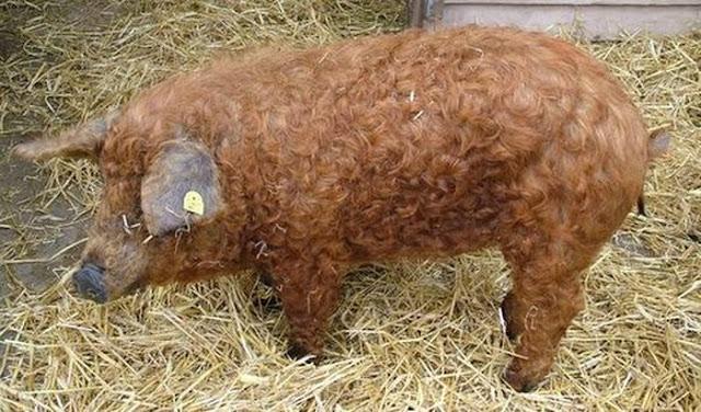 Pix Grove Hungarian Curly Hair Pig Mangalitsa