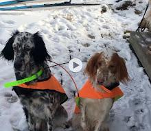 Våre nåværende hunder