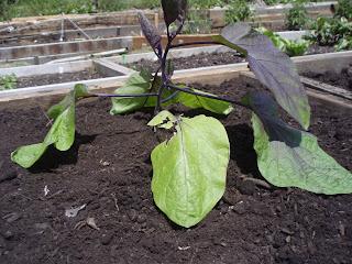 derek freiman consulting - eggplant pic