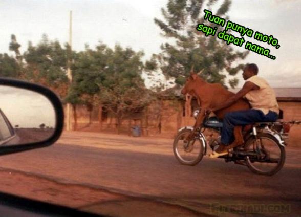 gambar lembu naik motor manusia tuan