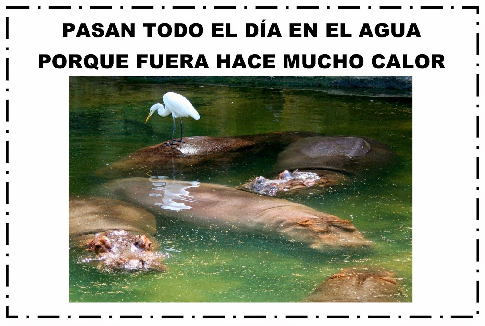 Por que los hipopotamos estan causando problemas en Colombia ...