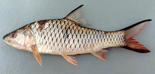 resep umpan, ampuh, Cara Jitu Memancing Ikan, Memancing Ikan Gariang, Macam-macam Teknik Mancing, Cara Membuat Umpan Jitu, Ikan Gariang,Ikan dewa,Ikan Semah,Ikan Kerling, ikan tawes,