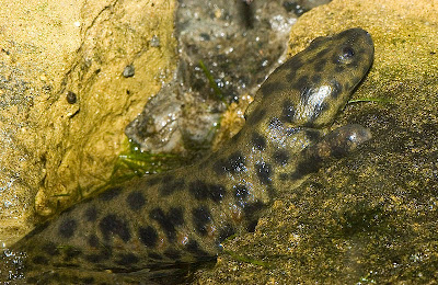 Características, alimentação, reprodução e distribuição da Salamandra de costelas salientes  (Pleurodeles waltl).