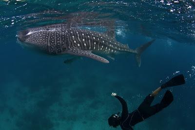 Steve de Neef Whale Shark Oslob