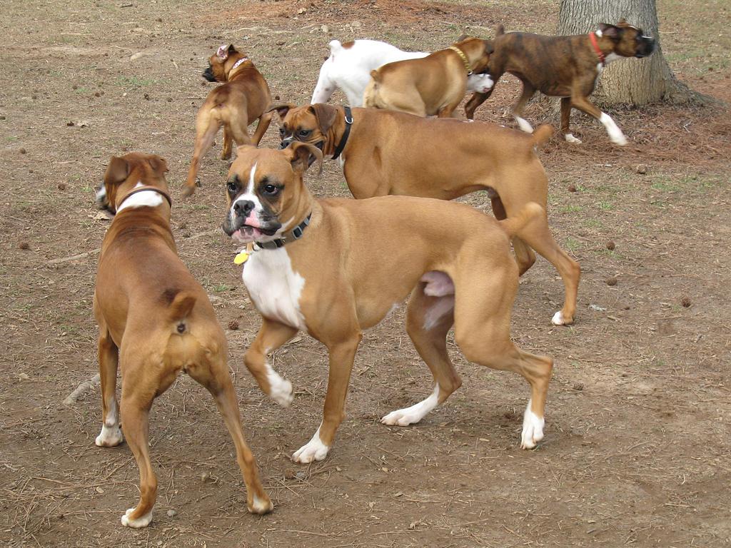 http://4.bp.blogspot.com/-zIikoGIdK1A/T_plOjOuH8I/AAAAAAAAEU0/f3Bn7dSFVkE/s1600/Boxer+Dog+Pictures_8.jpg