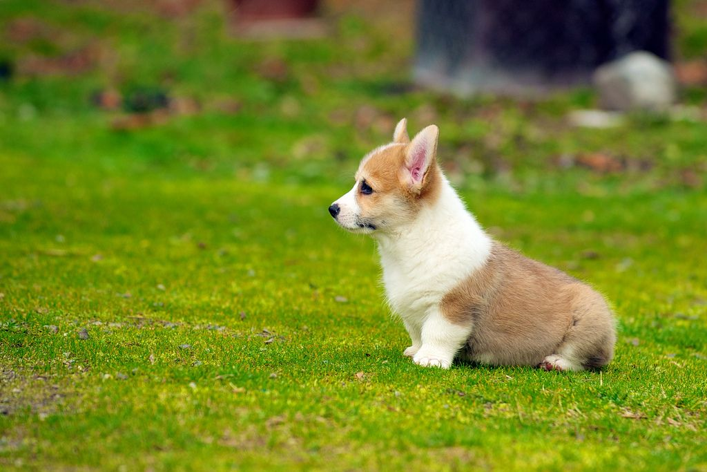15. Corgi Puppies