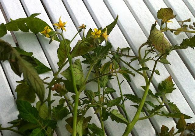 Tomatplants-kvistar med gula blommor som ligger på ett bord.