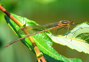 Emerald Damselfly immature