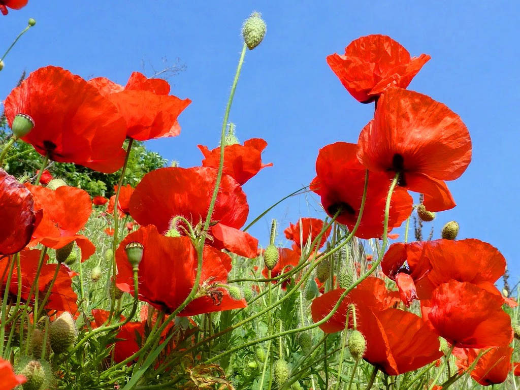 http://4.bp.blogspot.com/-zJLojkongrA/UTTJ6DpTC7I/AAAAAAAAUCI/_7nrLi2ph1I/s1600/Poppy+Flowers+Desktop+Wallpapers+8.jpg