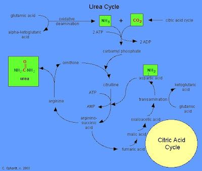 Siklus urea