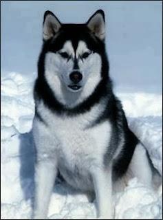 Anjing Siberian Husky, Cara merawat, Cara Melatih, Cara Merawat Anjing Siberian Husky