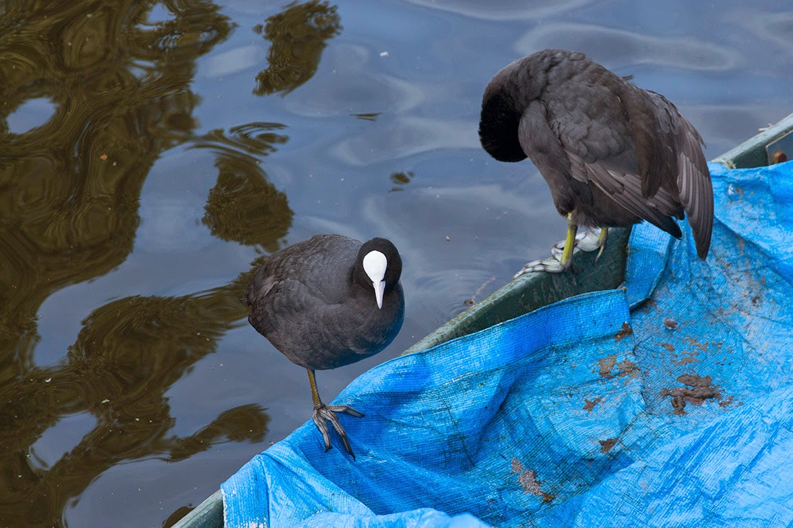 two coots grooming their feathers