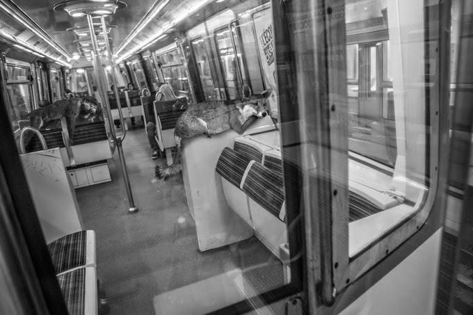 Фотограф и художник Clarisse Rebotier / Француз и его серия ч/б работ под названием Animеtro, в которых животные изображены полноценными пользователями метро в  Париже