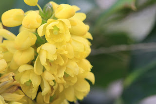 Oregon Grape (Mahonia x Media 'Charity')
