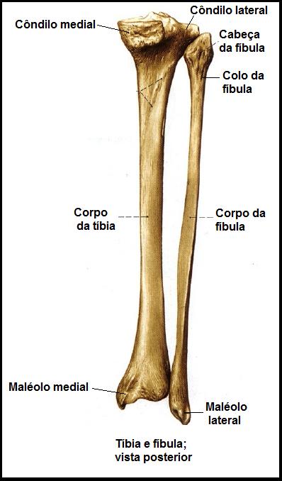 Pictures: Huesos tibia y peroné del ganado bovino. Cara anterior ...
