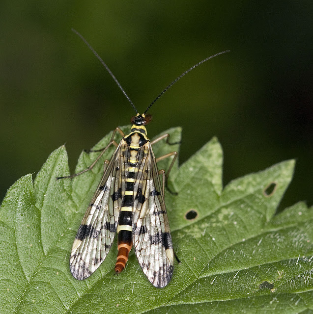 Scorpion fly, Panorpa species, female, on a nettle leaf in woodland.  Well Wood, 11 June 2011.