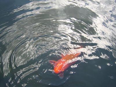 京都府・けいはんな記念公園 水景園の鯉