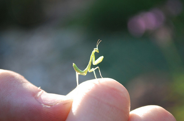 15 pictures of baby praying mantises, baby praying mantis