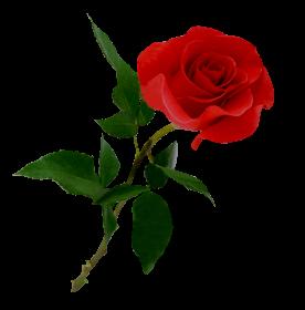Rosa para a Ermelinda