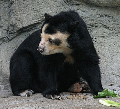 Spectacled Bear (Beruang Spectacled)
