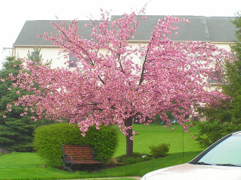 Cuidados del cerezo del jap n kanzan verde jard n for Arboles para jardin japones