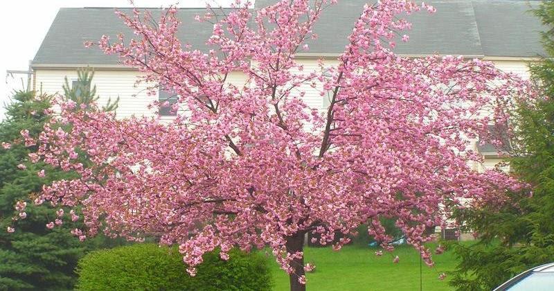 Cuidados del cerezo del jap n kanzan verde jard n for Cuidados del jardin